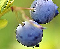 blueberries042